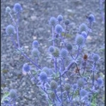 Picture of Eryngium planum
