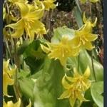Picture of Erythronium 'Citronella'