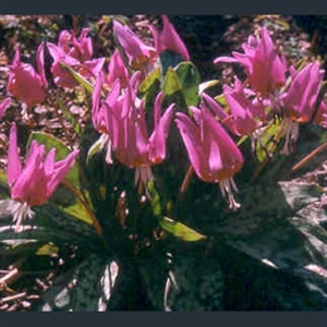 Picture of Erythronium dens-canis