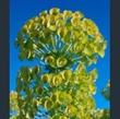 Picture of Euphorbia characias subsp. wulfenii