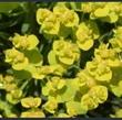 Picture of Euphorbia cyparissias 'Fen's Ruby'