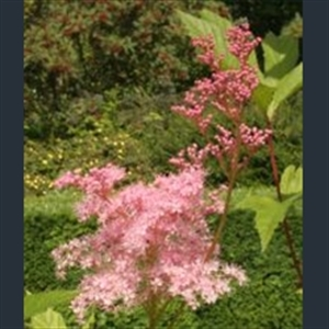 Picture of Filipendula rubra 'Venusta'