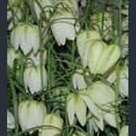 Picture of Fritillaria meleagris var. unicolor subvar. alba