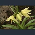 Picture of Fritillaria raddeana