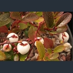 Picture of Gaultheria itoana