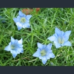 Picture of Gentiana 'Strathmore'