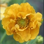 Picture of Geum 'Lady Stratheden'