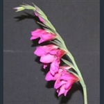 Picture of Gladiolus illyricus