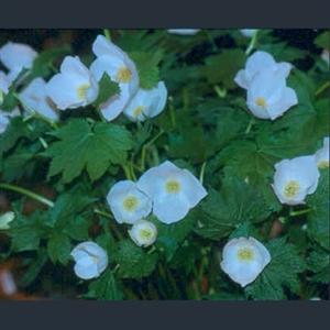 Picture of Glaucidium palmatum var. leucanthum