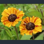 Picture of Helenium 'Sahin's Early Flowerer'