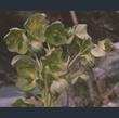 Picture of Helleborus argutifolius