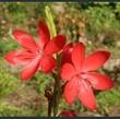 Picture of Hesperantha coccinea