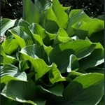 Picture of Hosta 'Krossa Regal'