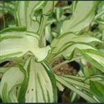 Picture of Hosta undulata var. univittata