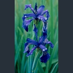 Picture of Iris delavayi