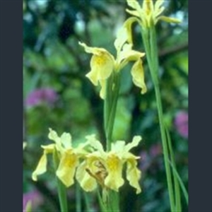 Picture of Iris forrestii