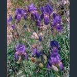 Picture of Iris unguicularis