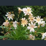 Picture of Lewisia 'Little Peach'