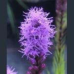 Picture of Liatris spicata