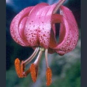 Picture of Lilium martagon