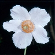 Picture of Meconopsis baileyi var. alba