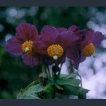 Picture of Meconopsis baileyi 'Hensol Violet'