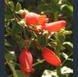 Picture of Mitraria coccinea
