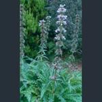 Picture of Morina longifolia