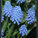 Picture of Muscari aucheri 'Blue Magic'
