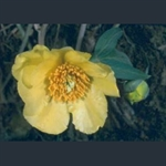 Picture of Paeonia delavayi var. angustiloba f. angustiloba