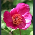 Picture of Paeonia mascula