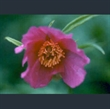 Picture of Paeonia veitchii var. woodwardii