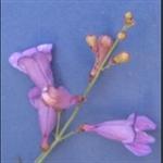 Picture of Penstemon azureus