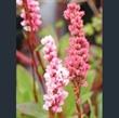 Picture of Persicaria affinis 'Superba'