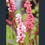 Picture of Persicaria affinis 'Superba'