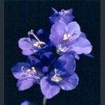 Picture of Polemonium caeruleum