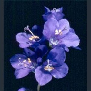 Picture of Polemonium caeruleum subsp. caeruleum