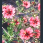 Picture of Potentilla nepalensis 'Miss Willmott'