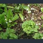 Picture of Primula (Cortusa) matthioli subsp. matthioli