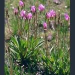 Picture of Primula (Dodecatheon) alpinum