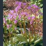 Picture of Primula (Dodecatheon) meadia f. album