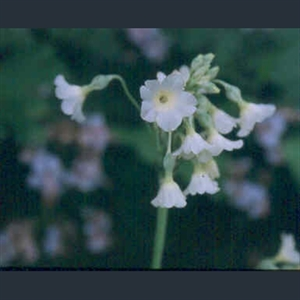 Picture of Primula alpicola
