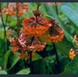 Picture of Primula aurantiaca