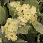 Picture of Primula auricula 'Helen Ruane'