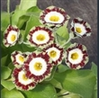 Picture of Primula auricula 'Polly'