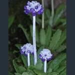 Picture of Primula capitata subsp. mooreana