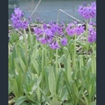 Picture of Primula chionantha subsp. sinopurpurea