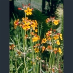 Picture of Primula chungensis