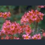 Picture of Primula x chunglenta