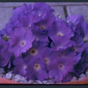 Picture of Primula 'Clarence Elliott'